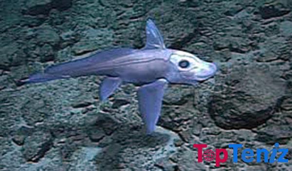 Chimaera Deepwater Fish