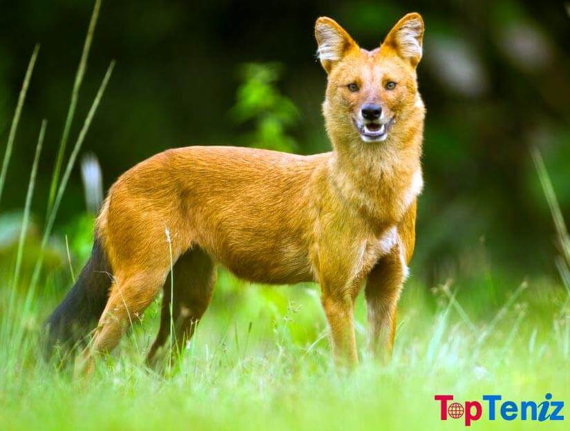 Dhole Top 10 Strange Animals in The World