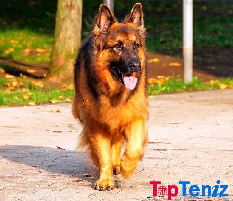 German Shepherd Top 10 Most Expensive Dog Breeds in the World