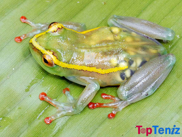 See-through Frog