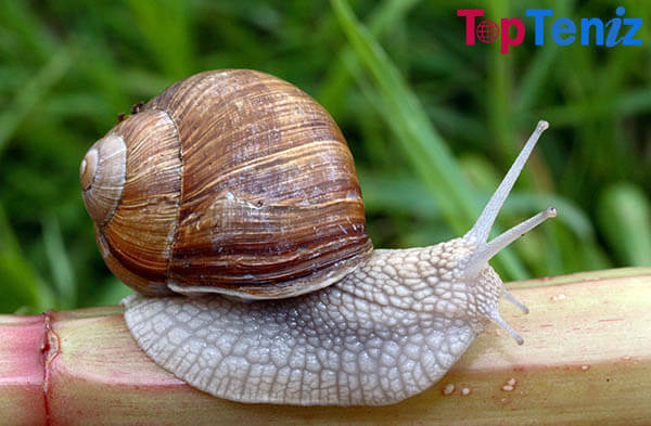 Snail With Semi-Transparent Shell