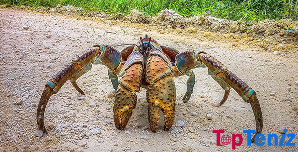 The Giant Coconut Crab