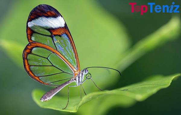 The Glasswinged Butterfly