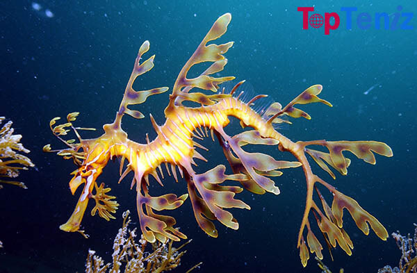 The Leafy Sea Dragon