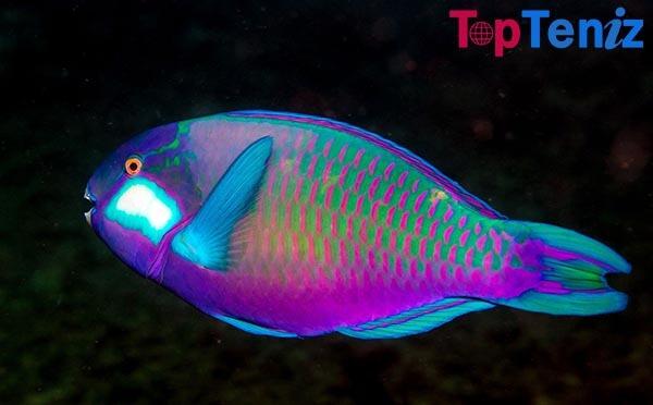 The Parrotfish