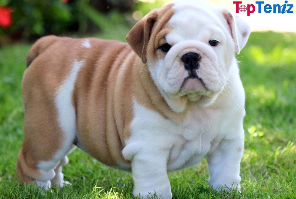English Bulldog Top 10 Cutest Puppies in the World